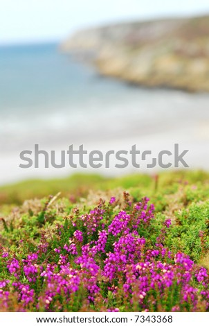 Heather blooming at the Atlantic ocean coast in Brittany, France