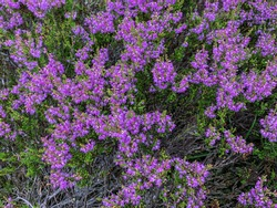 Heather. Bright heather flowers. Purple heather in the fall.