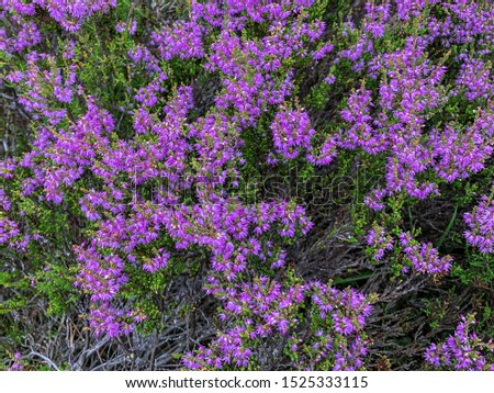 Heather. Bright heather flowers. Purple heather in the fall. #1525333115