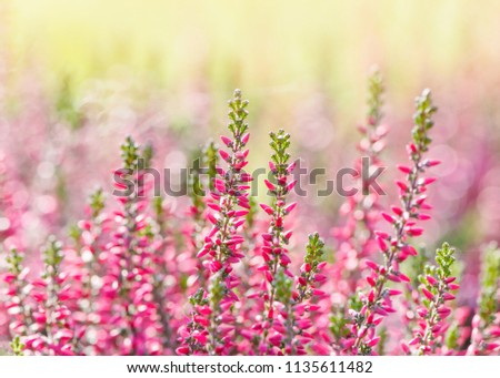Heather flowers. Bright natural yellow-green background.