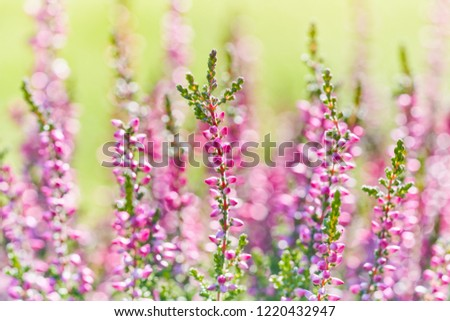 Heather flowers close-up. Bright natural defocused background.                       #1220432947