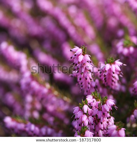 Heather flowers purple calluna ez canvas heather flowers purple calluna mightylinksfo