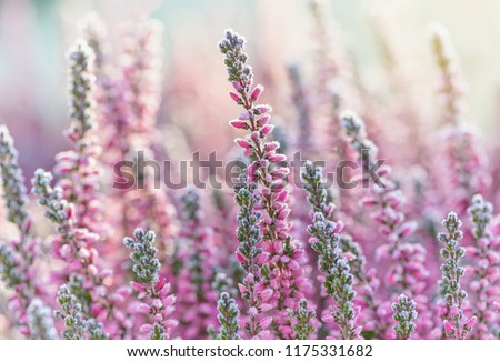 Heather frozen flowers. Bright natural cyan background.  #1175331682