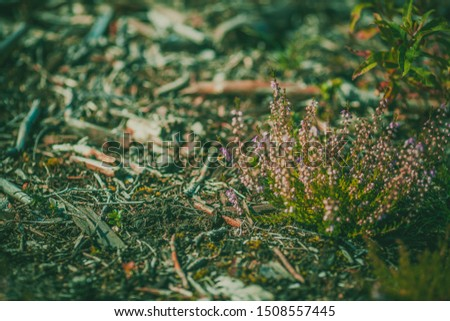 Heather. Heather flowers in a dark forest. Gloomy photo background with heather #1508557445