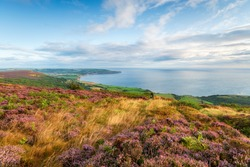 Heather in bloom on the North York Moors on the Cleveland Way long distance walking route between Ravenscar and Robin Hood's Bay on the Yorkshire coast