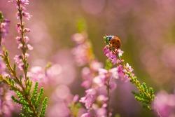 Heather. Ladybug on a bush of wild heather under the evening sun