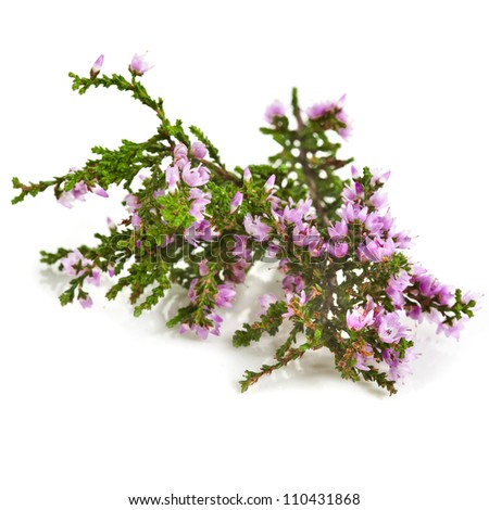 heather with purple flowers isolated on white background