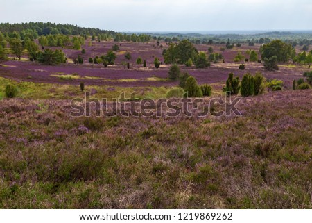 heathland Lüneburger Heide in Germany