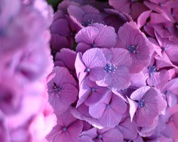 Heavenly hydrangea representing love, harmony, gratitude, peace, grace, beauty with lavish number of flowers and generous round shape.