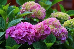 Heavenly hydrangeas representing love, harmony, gratitude, peace, grace, beauty with lavish number of flowers and generous round shape.