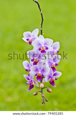 heavily laden branch of beautiful blooms on a phalaenopsis orchid with green background