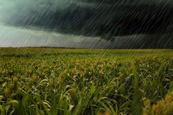 Heavy rain over green corn plants in field on grey day