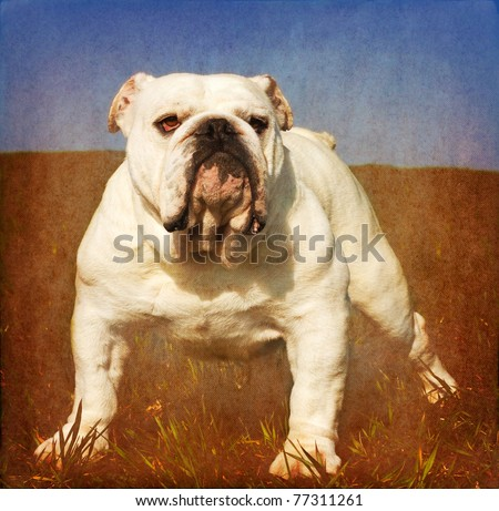Heavy textured vintage look portrait of white male english bulldog standing in the grass