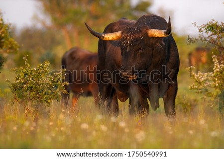 Heck cattle (Bos primigenius f. taurus), bull in a pasture in the early morning with beautiful green coloured background. Attempt to breed back the extinct aurochs (Bos primigenius), Czech Republic Stockfoto ©
