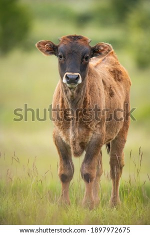 Heck cattle (Bos primigenius f. taurus), cow in a pasture in the early morning with beautiful green coloured background. Attempt to breed back the extinct aurochs (Bos primigenius), Czech Republic Stockfoto ©