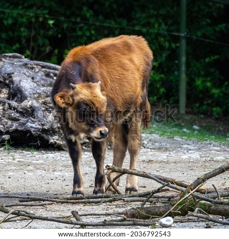 Heck cattle, Bos primigenius taurus, claimed to resemble the extinct aurochs. Stockfoto ©