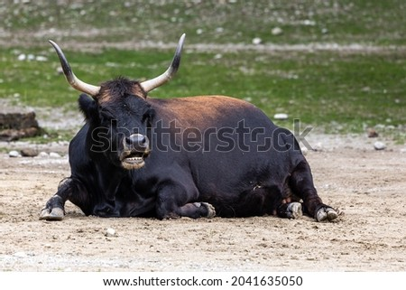 Heck cattle, Bos primigenius taurus, claimed to resemble the extinct aurochs. Domestic highland cattle seen in a German park Stockfoto ©