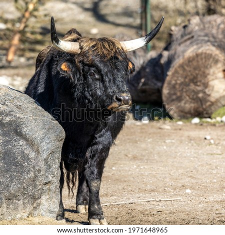 Heck cattle, Bos primigenius taurus, claimed to resemble the extinct aurochs. Seen in a German park Stockfoto ©