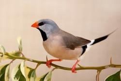 Heck's Grassfinch bird perched on a leafy twig