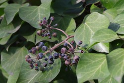 Hedera helix fruits common ivy.  Ivy leaves