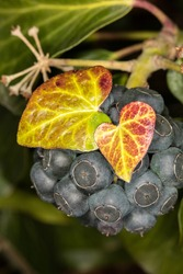 Hedera helix, the common ivy, English ivy, European ivy, flowering plant, blue and green flower, selective focus