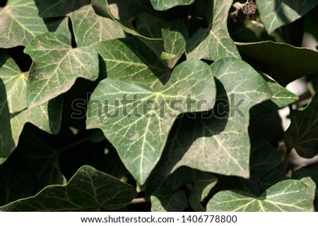 Hedera helix, the common ivy, English ivy, European ivy, or just ivy, is a species of flowering plant in the family Araliaceae, native to most of Europe and western Asia. #1406778800