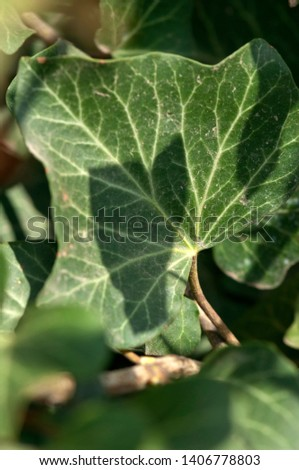 Hedera helix, the common ivy, English ivy, European ivy, or just ivy, is a species of flowering plant in the family Araliaceae, native to most of Europe and western Asia. #1406778803