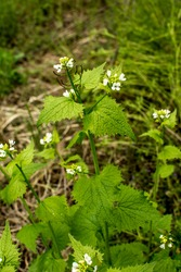 Hedge Garlic plants (Alliaria petiolata) with blossoms and green leaves.Alliaria petiolata, or garlic mustard, is a biennial flowering plant in the mustard family Brassicaceae.