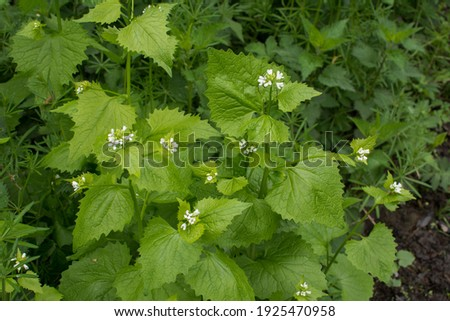 Hedge Garlic plants (Alliaria petiolata) with blossoms and green leaves.Alliaria petiolata, or garlic mustard, is a biennial flowering plant in the mustard family Brassicaceae. Foto stock ©