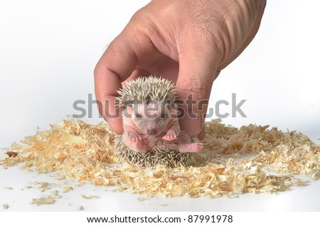 hedge-hog in hand - stock photo
