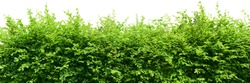 Hedge isolated on white background