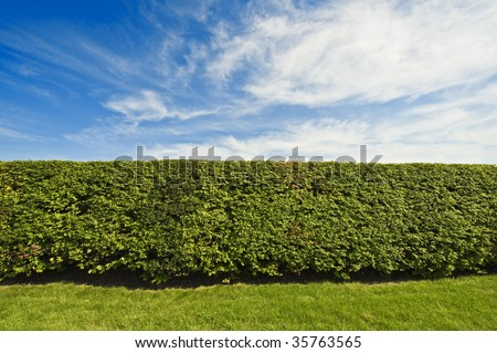 Hedge - like you would find near a mansion - stock photo