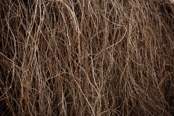 Hedge of dry vine branches, nature background. Abstract of dry toned twigs on the fence.