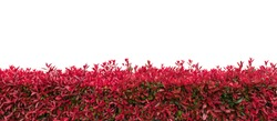 hedge or Green Leaves Wall on isolated,Objects with Clipping Paths