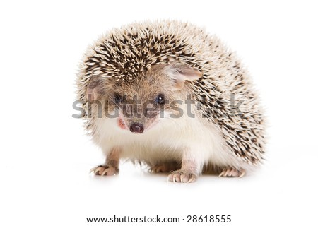 Hedgehod isolated on white