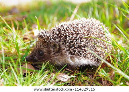 Hedgehog among green grass and fall leaves - stock photo