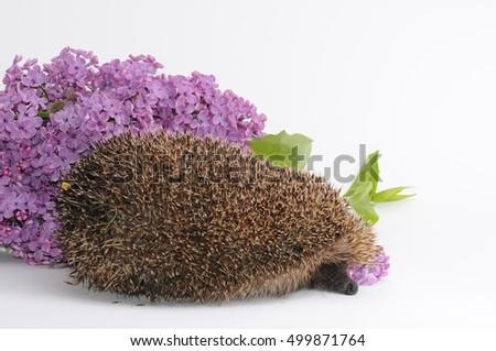 hedgehog and lilac #499871764