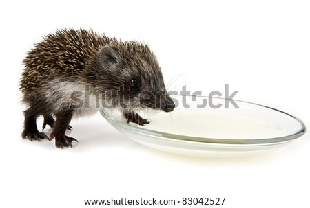 hedgehog and saucer with milk on a white background