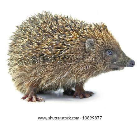 hedgehog animal isolated on white background