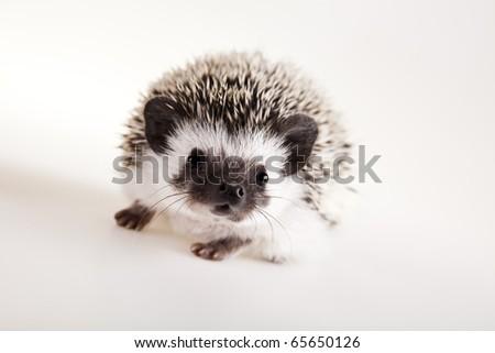 Hedgehog, Autumnal animal