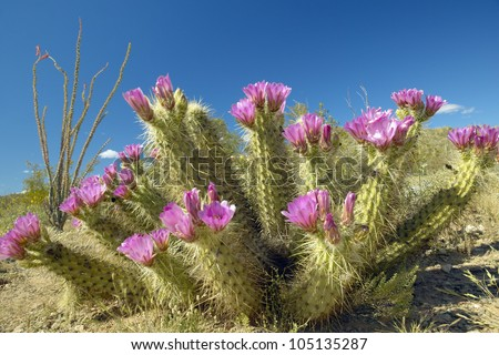 Hedgehog Cactus blooming in Organ Pipe Cactus National Monument, AZ near Mexico-USA border - stock photo
