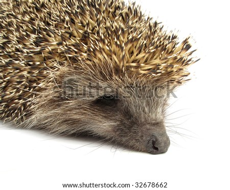 Hedgehog close up