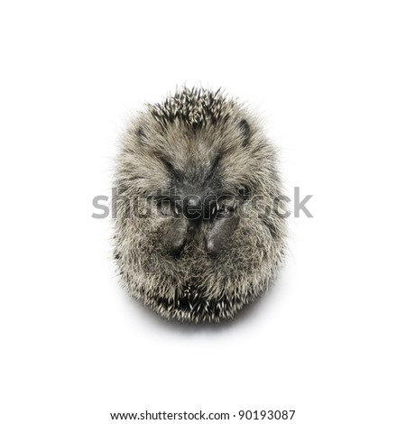 hedgehog curled up into a ball; isolated on white