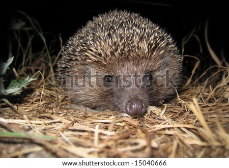 hedgehog during the night escapade