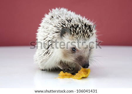 Hedgehog eating fruit. Small mammal with spiny hairs
