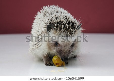 Hedgehog eating fruit. Small mammal with spiny hairs - stock photo
