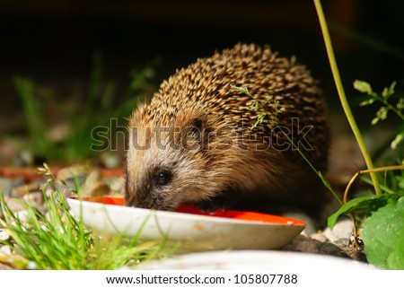 hedgehog eats milk