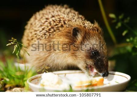 hedgehog eats milk