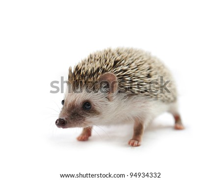 hedgehog  in front of a white background