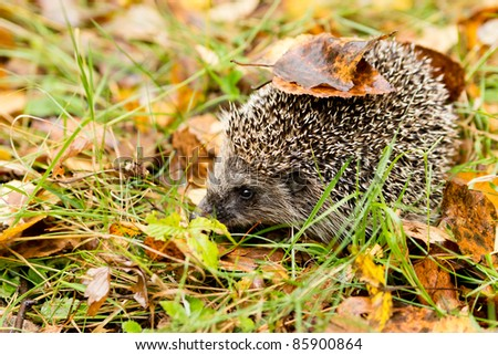 Hedgehog in the autumn forest crawling with old leaves on the thorns
